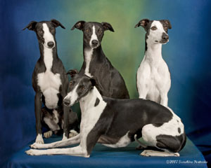 and white whippets that